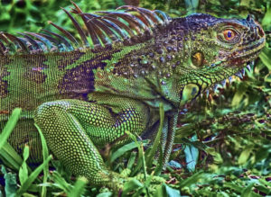 Iguana Larry Singer Nature Photographs